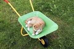 Katze liegt in der Schubkarre