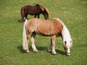 Pferd und Pony auf der Weide